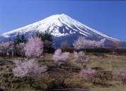 河口湖富士桜ミツバツツジまつり(2019年4月20日~4月30日)