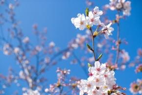 【季節限定】桜カクテル