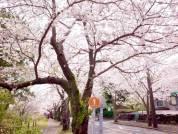 ソメイヨシノ並木