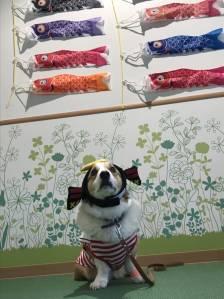 室内ドッグランに鯉のぼりを飾りました!!